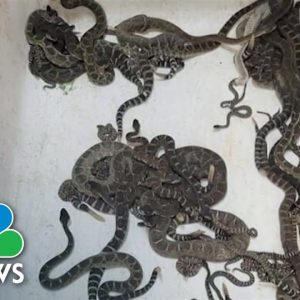 Over 90 Rattlesnakes Discovered Underneath California Home